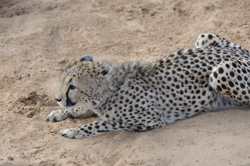 See the Cheetahs at Zeldas Guestfarm Namibia